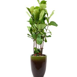떡갈잎고무나무(특품)